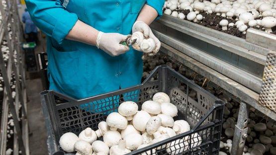 Cultivo automatizado de hongos